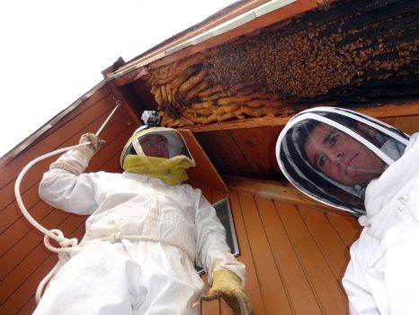 In this early April 2013 photo provided by Ogden beekeeper Vic Bachman, Bachman, left, and partner Nate Hall prepare to remove a 12-foot-long beehive from an A-frame cabin in Eden, Utah. It was the biggest beehive the Utah beekeepers have ever removed, containing about 60,000 honeybees. Photo: Courtesy Vic Bachman