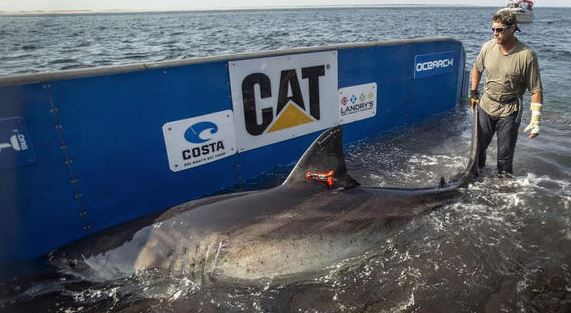 Katharine is the name given to a Great White being tracked by researchers off Florida (CBS12 / May 15, 2014)