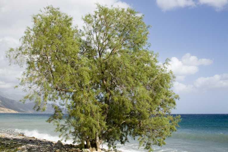 Tamarisk Tree
